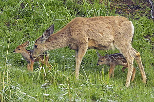 Mule Deer (Odocoileus hemionus) mother with newborn twins.   Yellowstone National Park, Wyoming, USA, June. - George  Sanker