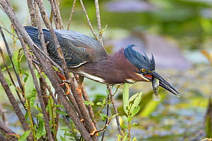 Green Heron (Butorides striatus) catching a small fish. Everglades, Florida, USA, March. - George  Sanker