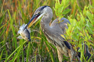 Great Blue Heron (Ardea herodias) with Bluegill Sunfish (Lepomis macrochirus) prey, Everglades National Park, Florida, USA, March.  -  George  Sanker