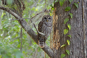 Barred owl (Strix varia) in mature cypress swamp. Big Cypress National Preserve, Florida, USA, March. - George  Sanker