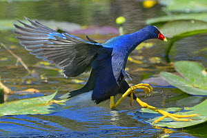 Purple Gallinule (Porphio martinica) in mangrove swamp. Everglades National Park, Florida, USA, March.  -  George  Sanker