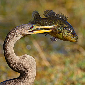 Anhinga (Anhinga anhinga) with large Bluegill Sunfish (Lepomis macrochirus) prey, Everglades National Park, Florida, USA, March.  -  George  Sanker