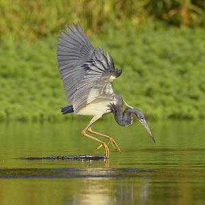 Tricolored Heron (Egretta tricolor) fishing.Everglades National Park, Florida, USA, March.  -  George  Sanker