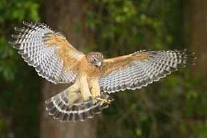 Red-shouldered Hawk (Buteo lineatus) in flight Myakka River State Park, Florida, USA, March.  -  George  Sanker