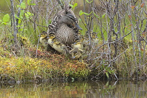 Mallard (Anas platyrhynchos) mother on nest with chick. Acadia National Park, Maine, USA.  -  George  Sanker
