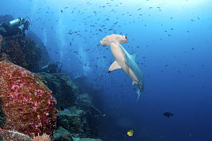 Divers viewing a large school of scalloped hammerhead sharks(Sphyrna lewini)  Galapagos Islands. - Michele  Westmorland