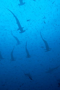Large school of scalloped hammerhead sharks (Sphyrna lewini). Galapagos Islands.  -  Michele  Westmorland