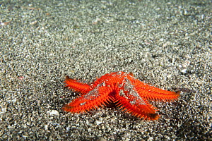 Spined sea star, species unidentified.  Galapagos Islands.  -  Michele  Westmorland