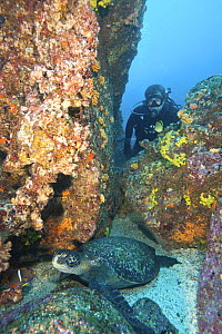 Diver and Green sea turtle (Chelonia mydas) Galapagos Islands. Model released.  -  Michele  Westmorland