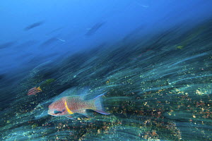 Hogfish (Bodianus diplotaenia) blurred motion photograph, swimming, Galapagos Islands.  -  Michele  Westmorland