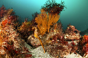 Pacific seahorse (Hippocampus ingens) in colorful reef in Galapagos Islands. Vulnerable species.  -  Michele  Westmorland