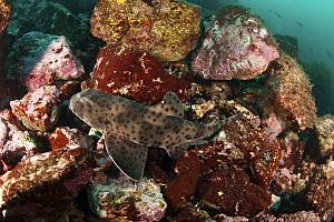 Rare Epaulette shark (Hemiscyllium sp.) in the Galapagos Islands.  -  Michele  Westmorland