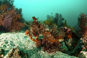Pacific seahorse (Hippocampus ingens) in colorful reef in Galapagos Islands, Vulnerable species.  -  Michele  Westmorland