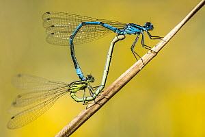 RF- Common blue damselfly (Enallagma cyathigerum) pair mating, Meeth Quarry, Devon, UK, July. (This image may be licensed either as rights managed or royalty free.) - Ross Hoddinott