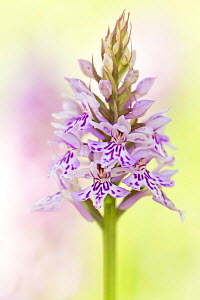 RF- Common spotted orchid (Dactylorhiza fuchsii) flower, Collard Hill, Somerset, UK, June. (This image may be licensed either as rights managed or royalty free.) - Ross Hoddinott