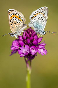 Silver-studded blue butterfly (Plebejus argus) pair mating, resting on a Pyrimidal orchid (Anacamptis pyramidalis) flower, Gwithian Towans, Cornwall, UK, July.  -  Ross Hoddinott