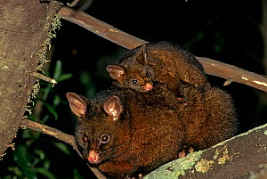 Australian Brush-tailed Possum (Trichosurus vulpecula) invasive species,  adult with young perched on back. Golden Bay, South Island, New Zealand. - Tui De Roy