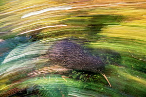 Okarito Brown Kiwi (Apteryx rowi) blurred motion photograph of 'Scooter' patrolling territory,  Okarito Forest, Westland, South Island, New Zealand, endemic.  -  Mark Jones