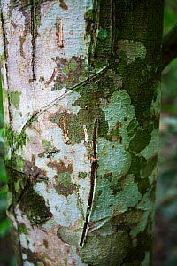 Silkrubber tree (Funtumia elastica) bark, Budongo Forest Reserve, Uganda. Bark has medicinal properties used to treat asthma, allergies and malaria. - Simon  Colmer