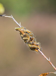 Buff Tip Moth (Phalera bucephala) larvae on silver birch. Surrey, England, UK, August. - Adrian Davies