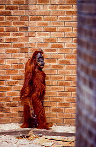 'Kith' / 'Kin' Sumatran orangutan (Pongo abelii) captive animal in walled enclosure, Perth Zoo, Western Australia, August 2001.  -  Jabruson