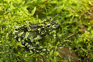 Mossy frog (Theloderma corticale) captive from Vietnam - Chris  Mattison