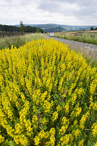 Yellow loosestrife (Lysimachia vulgaris) in flower, growing at the edge of a country road, near Hathersage, Deryshire, Peak District, England,  UK, July.  -  Chris  Mattison