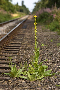 Great mullein (Verbascum thapsus) growing alongside railway line, Cambridgeshire, England, UK, August.  -  Chris  Mattison