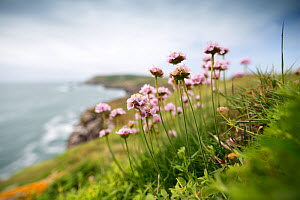Flowering Thrift (Armeria maritima) photographed on Great Saltee with a view of the island behind. Great Saltee, Saltee Islands, Co. Wexford, Ireland, June.  -  David  Pattyn