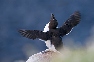 Razorbill (Alca torda) sitting at the edge of a cliff and flapping its wings. Great Saltee, Saltee Islands, Co. Wexford, Ireland, June.  -  David  Pattyn