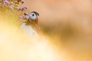 Puffin (Fratercula arctica) through soft focus vegetation. Great Saltee, Saltee Islands, County Wexford, Ireland, June. - David  Pattyn