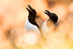 Razorbill (Alca torda) pair calling,  between soft focus vegetation. Great Saltee, Saltee Islands, Co. Wexford, Ireland, June. - David  Pattyn