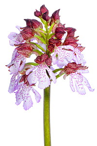 Lady orchid (Orchis purpurea)  in flower, Slovenia, Europe, May Meetyourneighbours.net project - MYN  / Marko Masterl