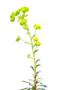 Wood Spurge (Euphorbia amygdaloides) in flower, Slovenia, Europe, April Meetyourneighbours.net project  -  MYN  / Marko Masterl