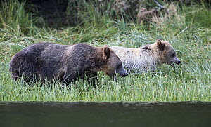Adult Grizzly bear (Ursus arctos horribilis) and young cub grazing at the edge of the water. Knight Inlet, British Columbia, Canada, August.  -  David  Pattyn