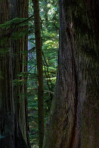 Western Red Cedar trees (Thuja plicata) in temperate rainforest. Cathedral grove in MacMillan provincial park, Vancouver Island, British Columbia, Canada, August. - David  Pattyn