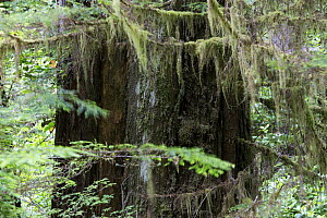 Temperate rainforest with ancient Red cedar tree (Thuja plicata). Pacific Rim National Park, Vancouver Island, British Columbia, Canada, August.  -  David  Pattyn