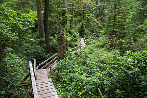 Temperate rainforest scenic with ancient Red cedar trees (Thuja plicata) and a forest trail walkway for visitors. Pacific Rim National Park, Vancouver Island, British Columbia, Canada, August. - David  Pattyn