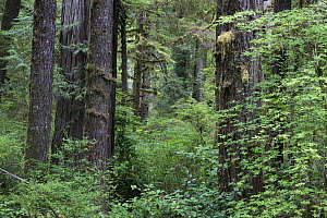 Temperate rainforest with ancient Red cedar trees (Thuja plicata). Pacific Rim National Park, Vancouver Island, British Columbia, Canada, August.  -  David  Pattyn