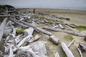 Driftwood washed up on sandy beach on a misty day. Wickaninnish Beach, Vancouver Island, British Columbia, Canada, August.  -  David  Pattyn