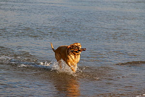 Labrador retriever dog running through shallow water, River Mersey, England, UK, August 2013. - Norma  Brazendale