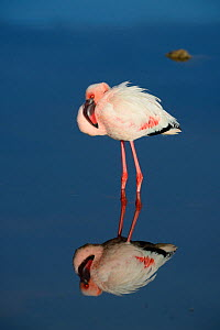 Lesser flamingo (Phoenicopterus minor) standing in water with reflection, DeHoop Vlei, DeHoop Nature Reserve, Western Cape, South Africa, August.  -  Tony Phelps