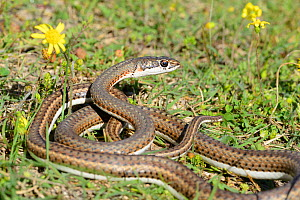 Karoo whip snake (Psammophis notostictus) DeHoop Nature Reserve, Western Cape, South Africa, August.  -  Tony Phelps