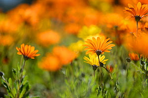 Parachute daisies (Ursinia anthemoides) flowering, Vergelegen, Little Karoo, Western Cape, South Africa, July.  -  Tony Phelps