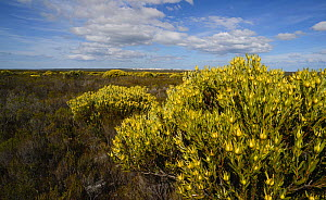 Male Limestone conebush (Leucadendron meridianum) in flower in protea fynbos mosaic, DeHoop Nature Reserve, Western Cape, South Africa, August.  -  Tony Phelps