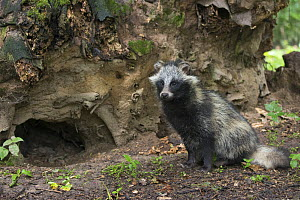 Raccoon dog (Nyctereutes procyonoides) outside den, captive, native to East Asia - Edwin  Giesbers