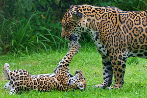 Female Jaguar (Panthera onca) playing with her cub, captive, occurs in Southern and Central America. - Edwin  Giesbers