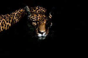 Female Jaguar (Panthera onca), captive, occurs in Southern and Central America. - Edwin  Giesbers