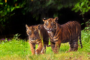 RF- Sumatran tiger (Panthera tigris sumatrae) with cub, aged four months, captive, occurs in Sumatra, Indonesia. (This image may be licensed either as rights managed or royalty free.) - Edwin  Giesbers