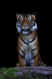 Malayan tiger (Panthera tigris jacksoni), captive, native to the Malayan Peninsula.  -  Edwin  Giesbers